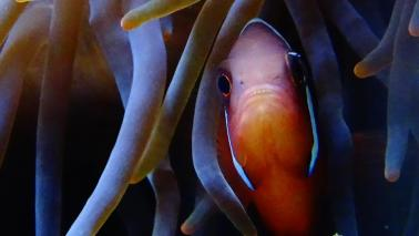 Amphiprion frenatus wiki 2