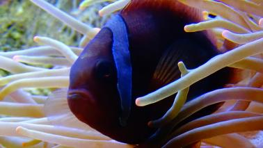 Amphiprion frenatus wiki 4