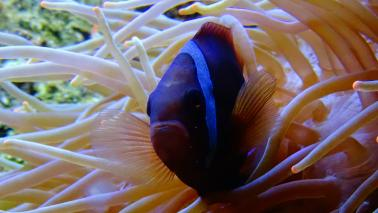 Amphiprion frenatus wiki 6 1