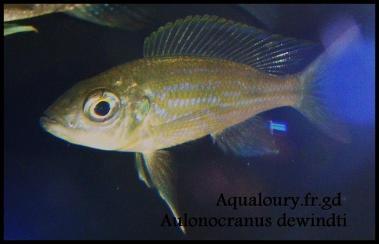 Aulonocranus3