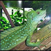 Basilicus plumifrons honduras panama costa rica nicaragua 3