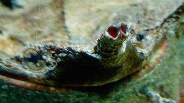 Chelus fimbriata matamata wiki 12