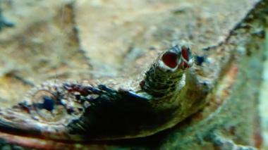 Chelus fimbriata matamata wiki 13
