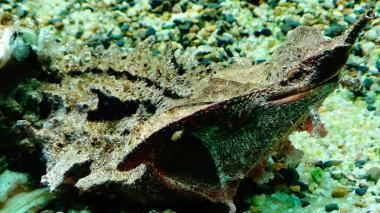 Chelus fimbriata matamata wiki 6