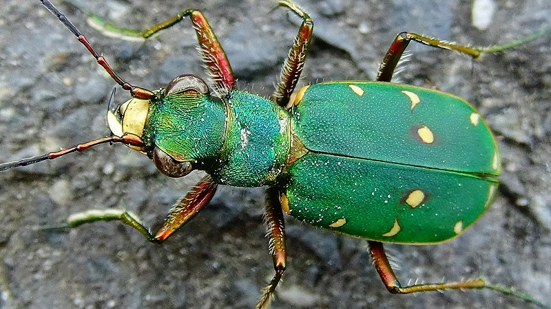 Cicindela campestris