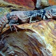 Ctenosaura defensor 2