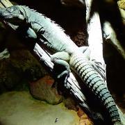 Ctenosaura palearis 3