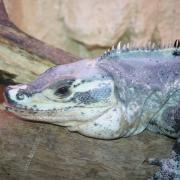 Ctenosaura sp ctenosaura bakeri