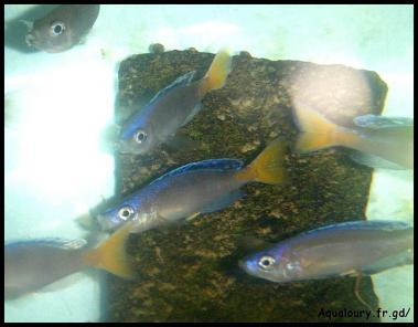 Cyprichromis leptosoma 3
