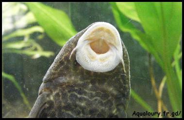 Gros plan de la vantouse de hipostomus plecostomus