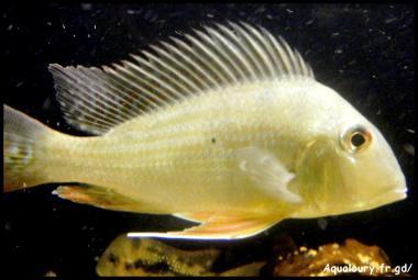 Gymnogeophagus gymnogenis 7