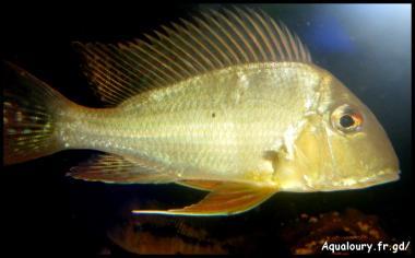 Gymnogeophagus gymnogenis 8