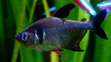 Hyphessobrycon megalopterus 1