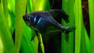 Hyphessobrycon megalopterus 6 1