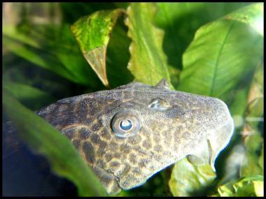 Hypostomus plecostomus 2
