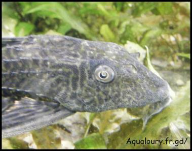 Hypostomus plecostomus 6