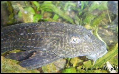 Hypostomus plecostomus 8