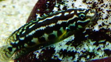 Julidochromis marlieri wiki 10