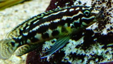 Julidochromis marlieri wiki 11