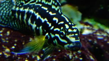 Julidochromis marlieri wiki 4