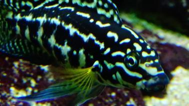 Julidochromis marlieri wiki 5