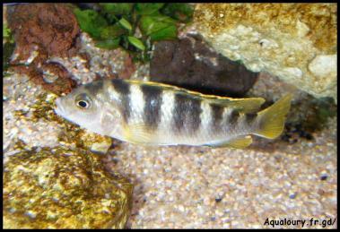 Labidochromis perlmut 2