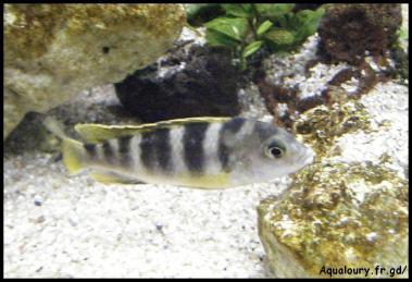 Labidochromis perlmut