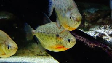 Metynnis lippincottianus wiki 3