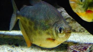 Metynnis lippincottianus wiki 8