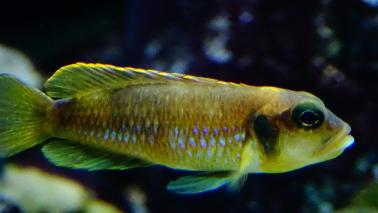 Neolamprologus ocelatus gold wiki 10