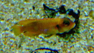 Neolamprologus ocelatus gold wiki 4