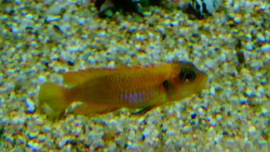Neolamprologus ocelatus gold wiki 5