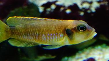 Neolamprologus ocelatus gold wiki 6