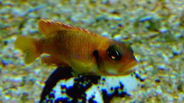 Neolamprologus ocelatus gold wiki 7