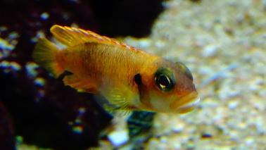 Neolamprologus ocelatus gold wiki 8