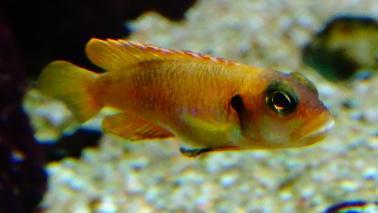 Neolamprologus ocelatus gold wiki 9