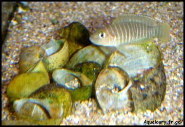 Neolamprologus similis 2