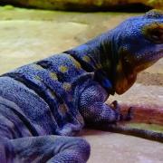 Petrosaurus thalassinus 11