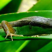 Takydromus sexlineatus 3