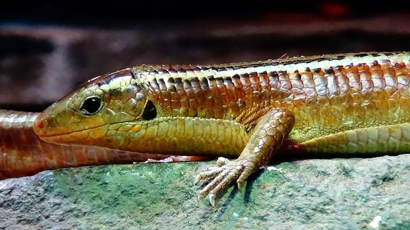 Zonosaurus madagascariensis